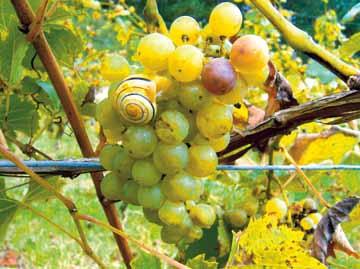 Weingut Plewe Trauben