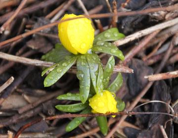 Frühlingsblume Rhön